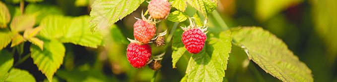Raspberries on Vine